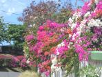 Nearby wonderfully colourful bougainvillea