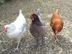 Freda, Mabel and Gertrude our egg production team!!