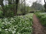 Wild garlic and bluebells five minutes walk from the cottages.