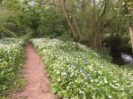 Wild garlic and bluebells alongside the running stream ,five minutes walk from the cottages.