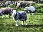 Herdwick Sheep on the Local Duddon Valley Fells