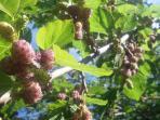 Nel nostro giardino è presente un bellissimo albero di gelsi, vi piacciono?venite ad assaggiarli...