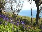 Bluebell woods, coastal path, Lyme Regis in spring