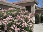 Frontyard oleander