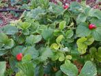 strowberrys in your garden