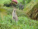 Regular visitor to our gardens