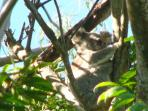 This is blinky our resident koala visiting our back yard gum trees