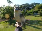 Friendly kookaburra come down to feed morning and night
