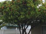 Clementine Tree with fruits year round