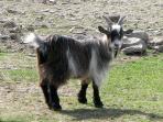 Billy the pygmy goat