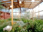 olive tree greenhouse