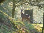 Resident Roe Deer