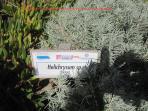 plante odorante emblématique de la Sardaigne