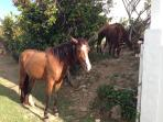 Horses in the backyard - a common sighting!