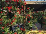 the roses pergola