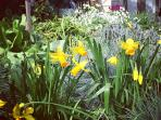 daffodils blooming in the winter garden