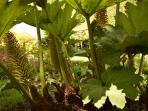 Giant Gunnera, amazing sight