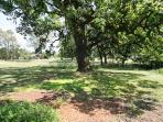 Grand Oak Tree.