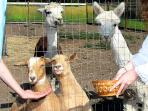Hang out with the happy resident alpacas, goats and horses.