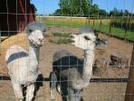 Hank and Dunnigan our alpacas, showing off.