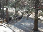 View from the front door deck of a mule deer visit.