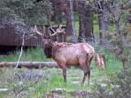 Majestic Elk visitor to Casa Angeles land