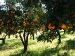 Orange trees growing nearby