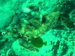 Please don't touch the Green Sea Turtles as they swim by.  This one is getting cleaned by the fish.