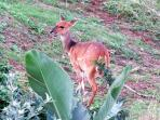 Bushbuck and grey duiker wander freely through the estate