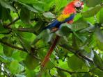 Scarlet Macaws seen daily from the patio