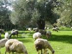 occasional visitors to the olive grove next door