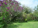 Lilac trees & bird feeding station