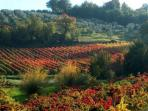 Montefalco vineyards in Fall ( 15 kms from Il Nido)