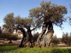 The Saint Emiliano Olive tree, the oldest in Umbria