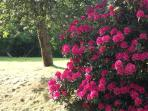Azalea bush in full bloom