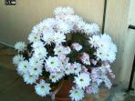 Cactus in fioritura