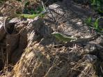 small lizards in the fields,beautifoul and harmless