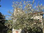 Le cerisier en fleurs !