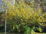 Les pompons jaunes