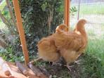 Les poules dans leur poulailler