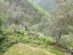 olives terraces
