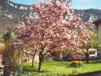 Magnolia en fleurs devant la maison