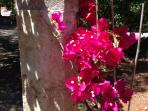 Our Bougainvilles