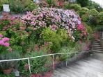 Les Hortensias en fleur