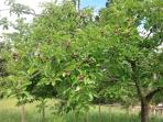 Young apples forming in the orchard.