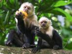 Capuchins eating our mangos!