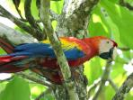 Macaws are growing in numbers, seen on our property!