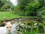 Minx the siamese cat by the pond