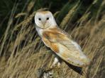 Barn Owls can regularly be seen or heard from the grounds