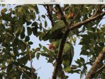 pair of parrots in our trees